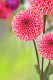 Dahlia flowers. On blurry background and free space for text Stock Photos