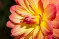 Dahlia Flowers Lizenzfreies Stockfoto