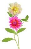 Dahlia Flowers Royaltyfri Bild