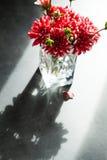 Dahlia Flowers Fotografia de Stock