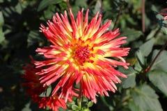 Dahlia Flowers Fotos de archivo