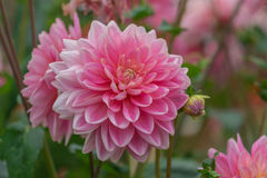 Dahlia Flowers Fotografia de Stock Royalty Free