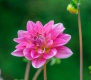 Dahlia Flowers Foto de Stock
