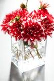 Dahlia Flowers Imagens de Stock