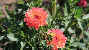 Dahlia Flowers almacen de video