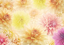 Dahlia Flowers  for Background Royalty Free Stock Photo