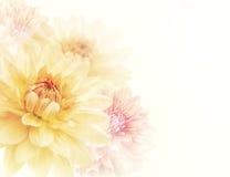 Dahlia Flowers Background Royalty Free Stock Photo