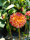 Dahlia flowers Stock Images