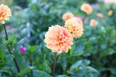 Field of dahlia flowers before been cut for sale royalty free stock image