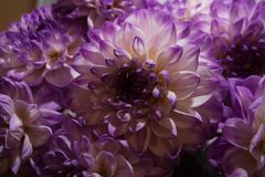 Dahlia flowers with purple and white petals royalty free stock photo