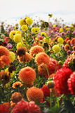 Dahlia flowers blooming in a rainbow of colors Stock Images