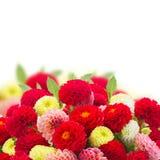 Dahlia flowers border Stock Image
