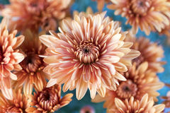 Dahlia Flowers Close Up Fotografie Stock Libere da Diritti