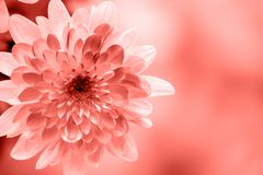 Dahlia flowers close up for living coral background.  stock photography