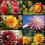 Dahlia flowers collage Royalty Free Stock Photos