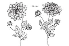Dahlia flowers drawing and sketch. Dahlia flowers drawing and sketch with line-art on white backgrounds Royalty Free Stock Photography