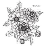 Dahlia flowers drawing and sketch. Dahlia flowers drawing and sketch with line-art on white backgrounds Stock Photos