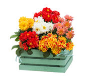 Dahlia Flowers in a green wooden box. Stock Photography