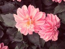 Dahlia Flowers in Retro Vintage Style Royalty Free Stock Photo
