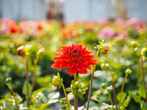 Dahlia flowers sprouting with buds in a greenhouse field Stock Photo