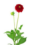 Dahlia Flowers! Stock Photos