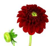 Dahlia Flowers!! Royalty Free Stock Photo