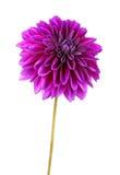 Dahlia Flowers.. Stock Images