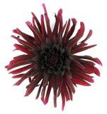Dahlia Flowers. Royalty Free Stock Photo