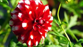 Dahlia. Dahlia, flowers of summer stock video footage