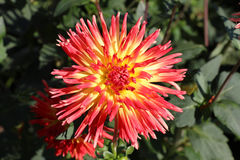 Dahlia Flowers Stock Photos