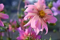 Beautiful dahlia flower with drooping petals Stock Image