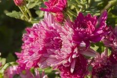 Dahlia  in the garden Royalty Free Stock Photos