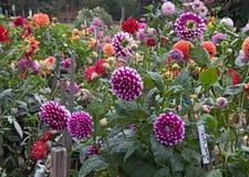 Dahlia garden Stock Images