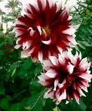 Dahlia Garden dalla baia immagini stock libere da diritti