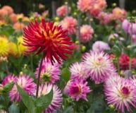 Dahlia garden Stock Photos