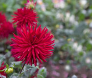 Dahlia garden Stock Image