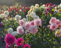 Dahlia garden sunset. Back light. Stock Photo