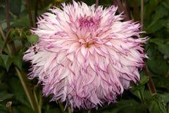 Dahlia in garden Stock Photography