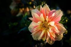 Dahlia genoemde Apple-Bloesem, een Collerette-dahlia Royalty-vrije Stock Afbeelding
