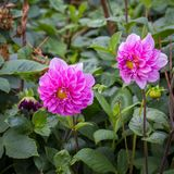 Dahlia. Is a genus of bushy, tube rous, herbaceous perennial plants Stock Photography
