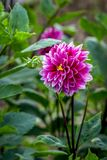 Dahlia. Is a genus of bushy, tube rous, herbaceous perennial plants Royalty Free Stock Photography