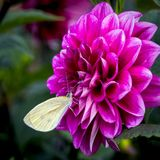 Dahlia. Is a genus of bushy, tube rous, herbaceous perennial plants Royalty Free Stock Images