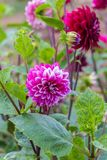 Dahlia. Is a genus of bushy, tube rous, herbaceous perennial plants Stock Image