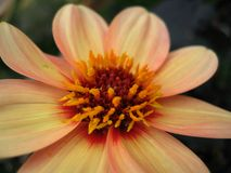 Mignon Dahlia Royalty Free Stock Photography