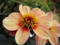 Mignon Dahlia Stock Photos