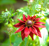 The dahlia, is genus of flowering plants in sunfl Stock Photography