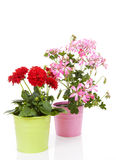 Dahlia and Geranium flowers in pot Royalty Free Stock Image