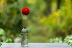 Dahlia in a glass vase. Fresh red flower in a glass vase isolated on nature background Stock Image