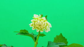 Dahlia on green timelapse stock footage