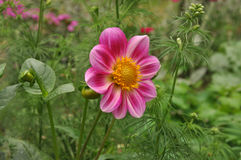 Dahlia. Is growing on a bed Royalty Free Stock Image